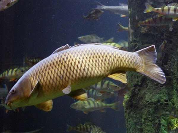 Mơ thấy cá chép đánh con gì ăn chắc