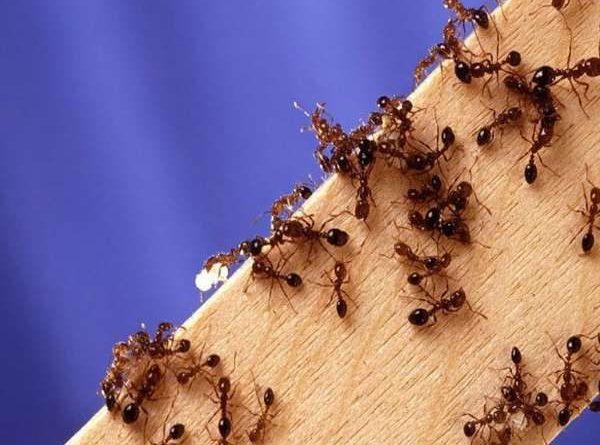 Kiến làm tổ trong nhà là điềm báo gì?