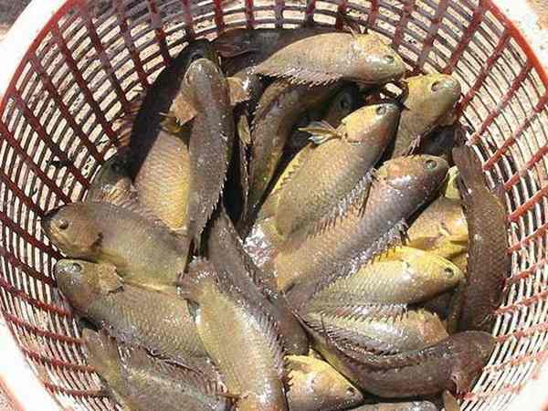 Mơ thấy bắt cá là điềm tốt hay xấu