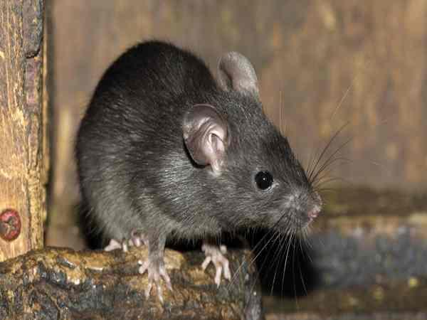 Mơ thấy chuột báo hiệu điềm gì