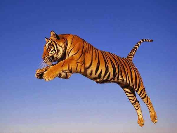 Mơ thấy hổ có ý nghĩa gì