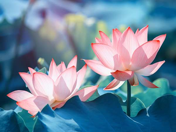 Khám phá ý nghĩa của giấc mơ thấy hoa sen