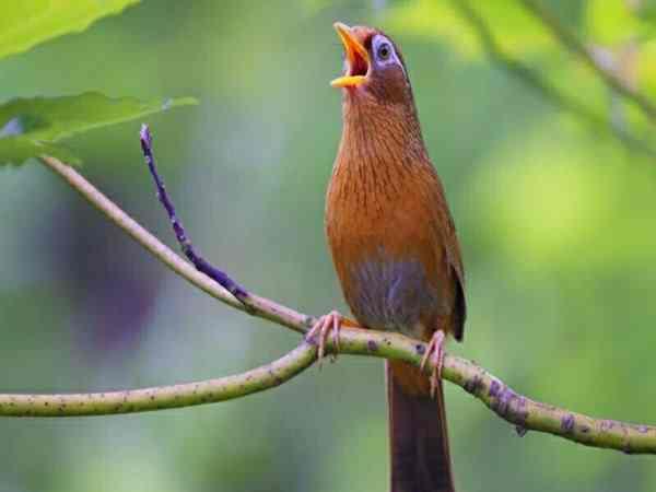 Giải mã điềm báo chim khách kêu