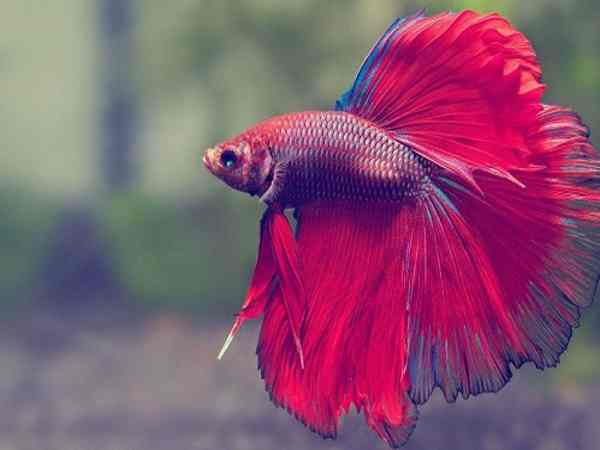 Chim sa cá nhảy