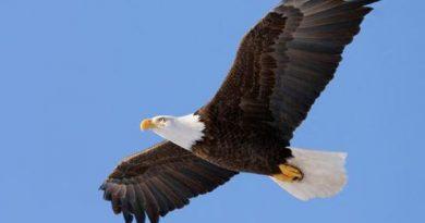 Mơ thấy chim ưng đánh con gì, báo mộng điềm gì?