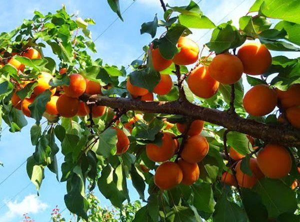 Mơ thấy trái cây chín là điềm báo gì, ghi con lô nào?
